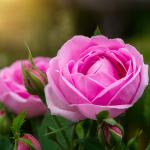 significado de la rosa de damasco