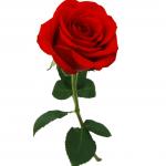 rosa sin espinas significado de las rosas