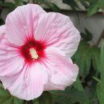 significado de la rosa hibisco