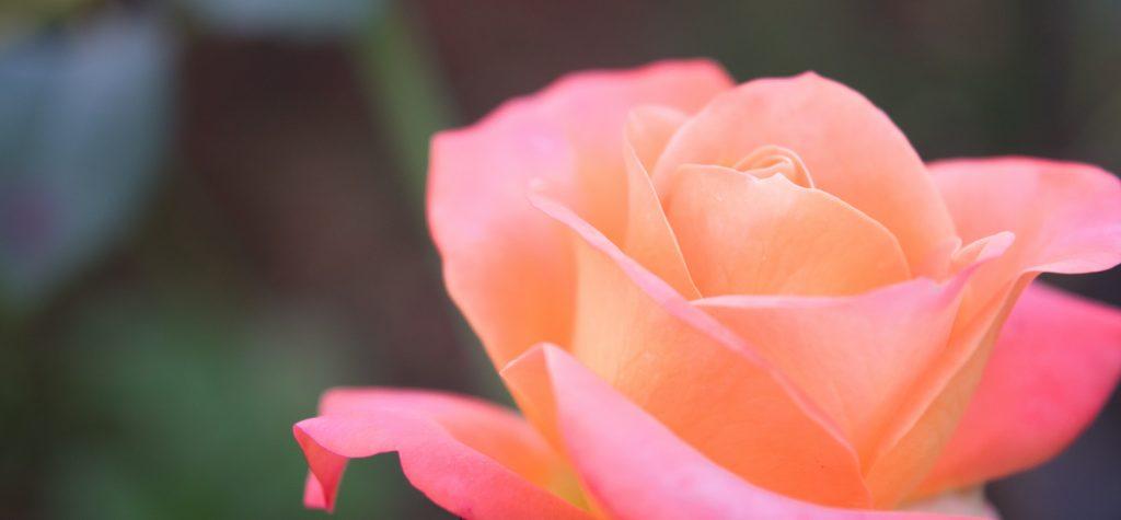significado de las rosas segun su color