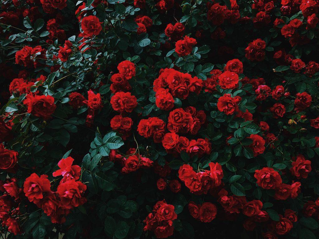 significados de las rosas rojas