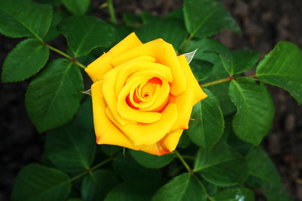 rosas amarillas significado