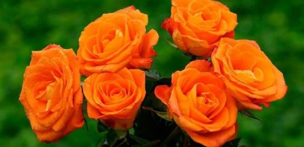 significados de las rosas naranjas